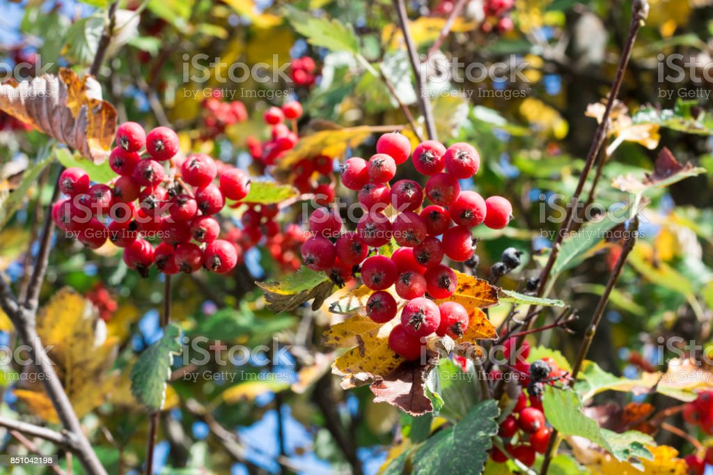 Autumnal colors of red, orange leaves and rowan berries stock photo