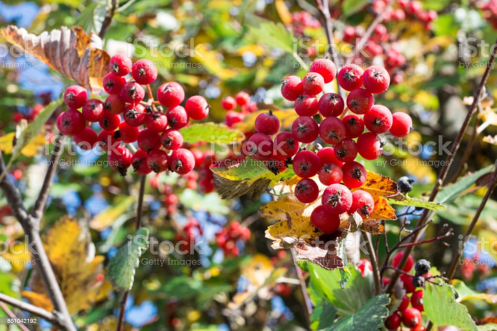 Autumnal colors of red, orange leaves and rowan stock photo