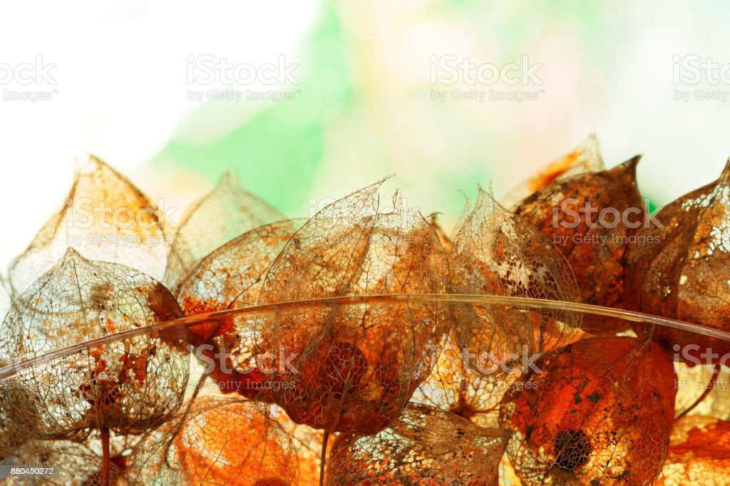 Herbstliche Dekoration mit verwitterten Physalis Alkekengi in Back Light – Foto