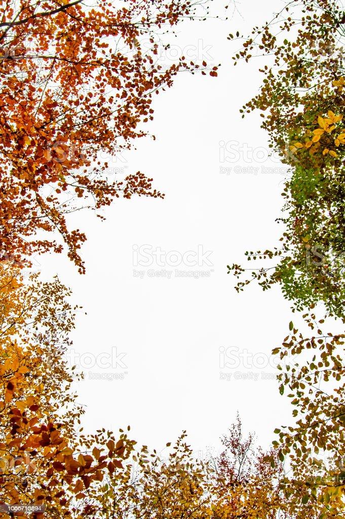quadro de folhagem outonal isolado em um fundo branco - visão comum de botton-up faia - foto de acervo
