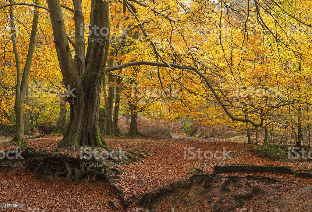 Autumnal Forest stock photo