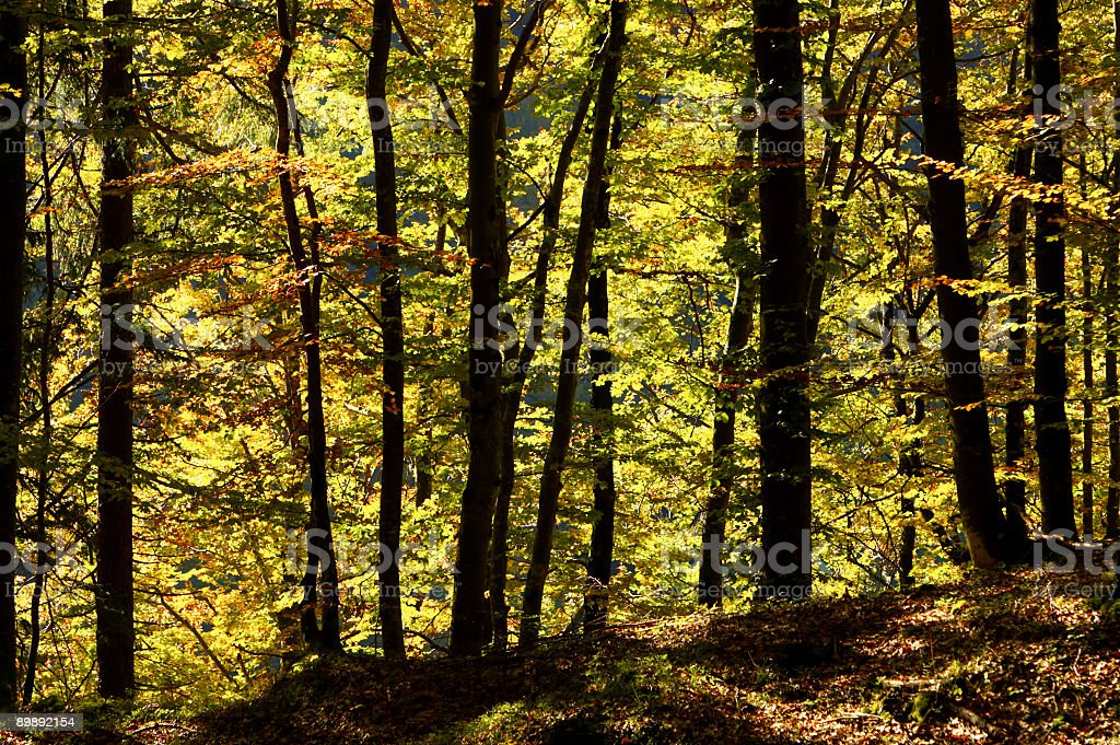 Autumnal Forrest royalty-free stock photo