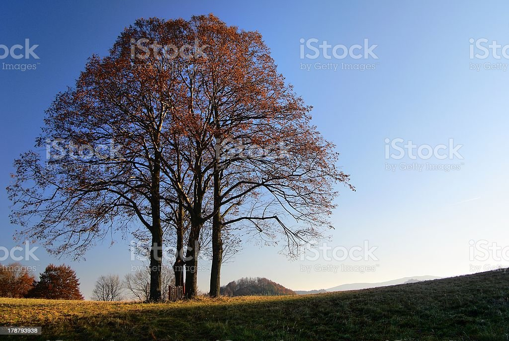 autumnal group of lime tree stock photo