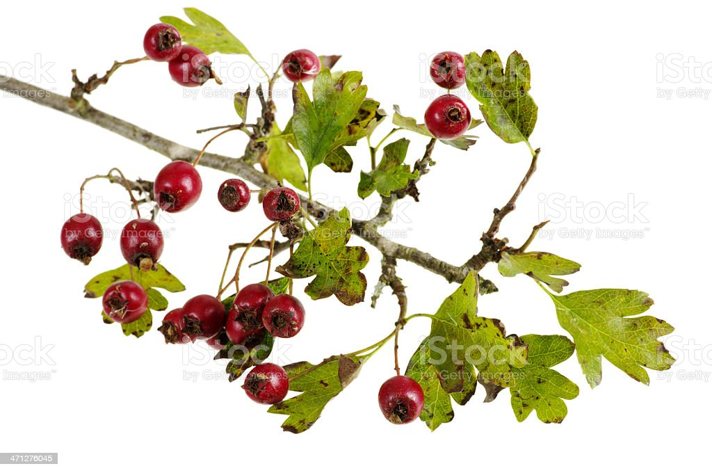 Autumnal Hawthorn With Berries royalty-free stock photo