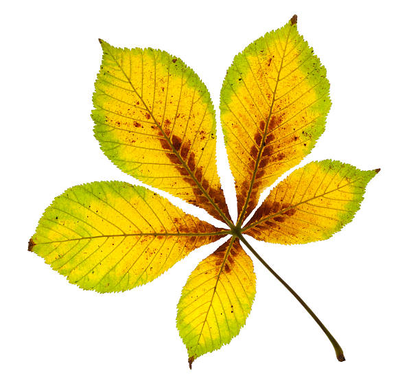 Autumnal Horse Chestnut Leaf stock photo