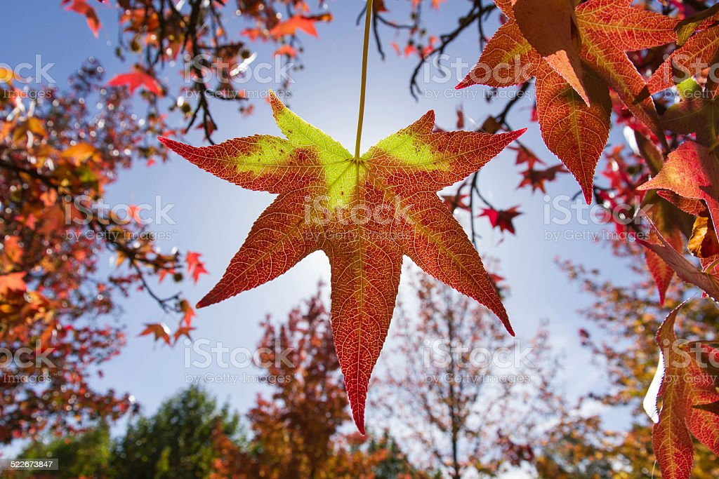 Autumnal leaf in red and yellow - Hoja otoñal stock photo