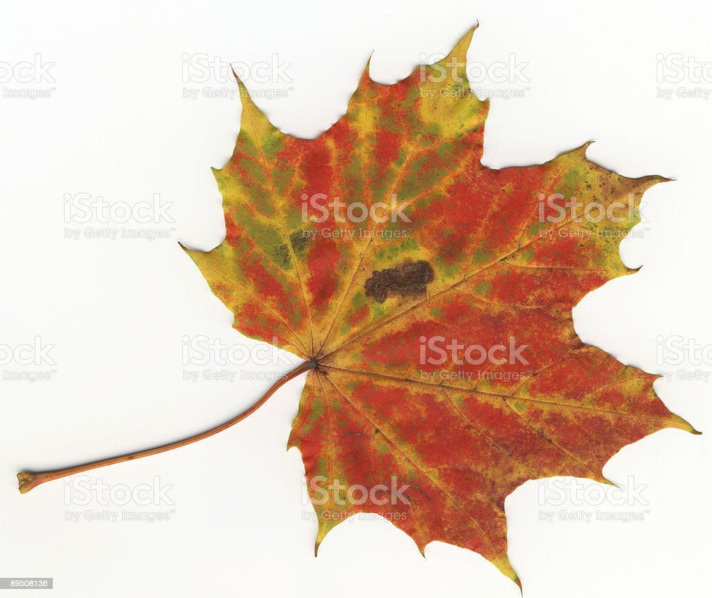 autumnal leaf royalty-free stock photo