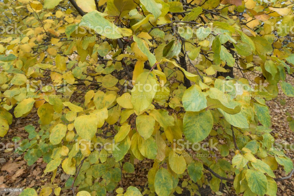 Autumnal leafage of quince tree in November stock photo