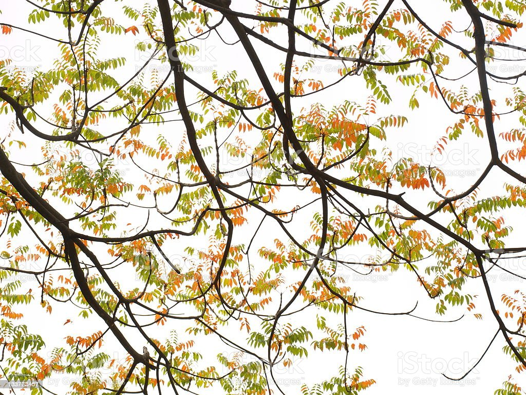 Autumnal leaves of Pistacia chinensis stock photo