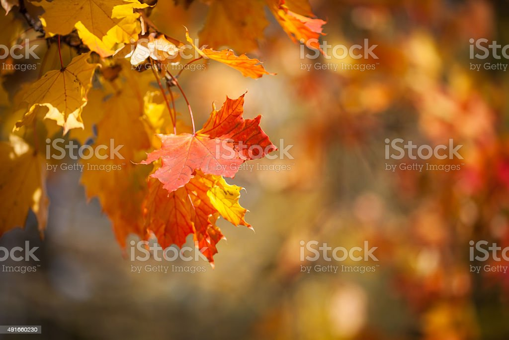 Autumnal leaves, red and yellow maple foliage against  forest stock photo