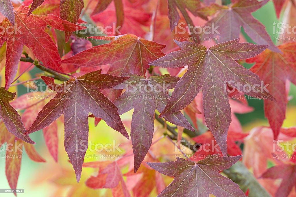 autumnal liquidambar leaves stock photo