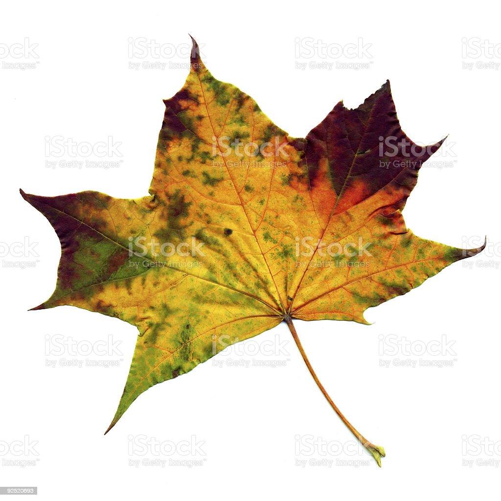 Autumnal maple leaf royalty-free stock photo