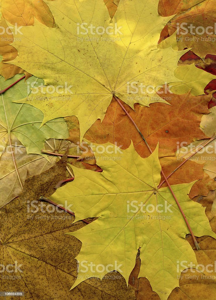 autumnal maple leaves background royalty-free stock photo