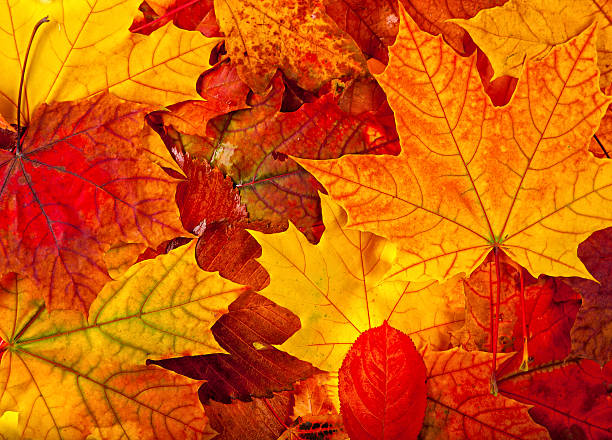 autumnal maple leaves background A perfect autumnal maple leaf, displaying a range of warm rad tones maple leaf photos stock pictures, royalty-free photos & images