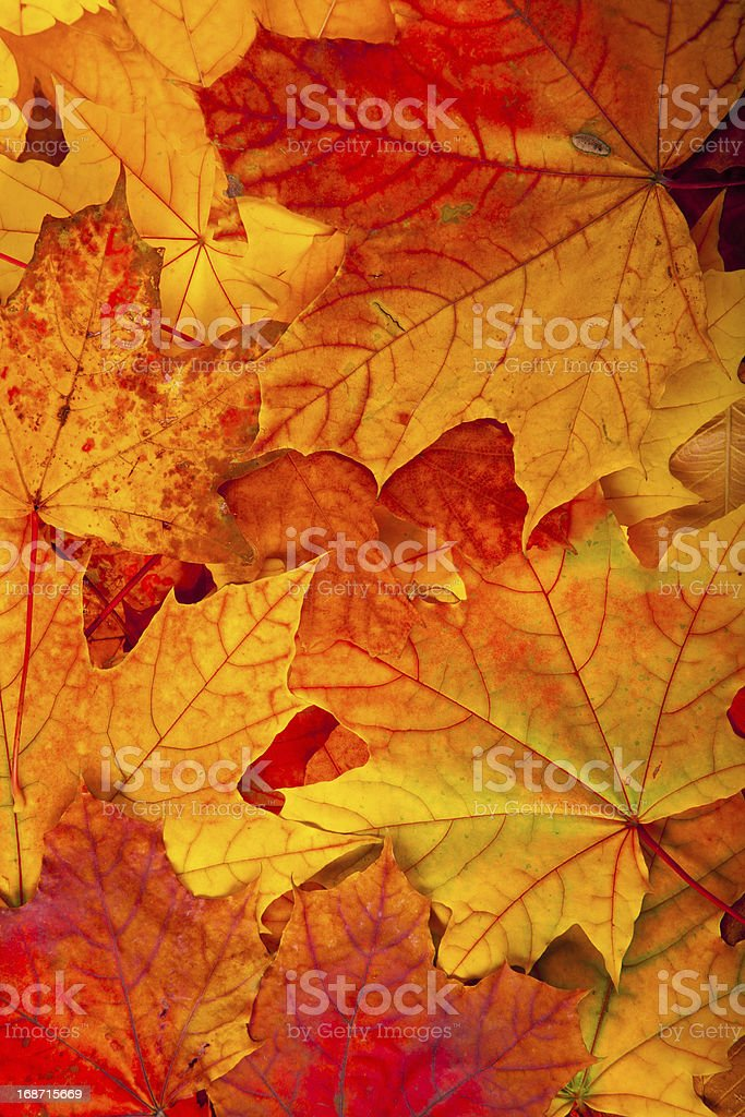 autumnal maple leaves background stock photo
