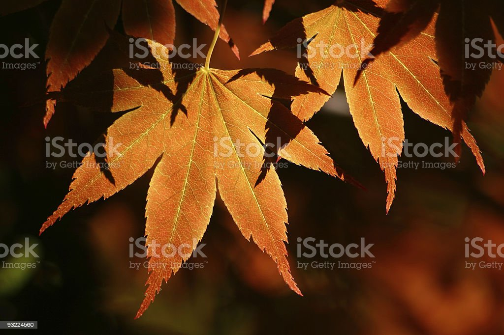 Autumnal Maple leaves royalty-free stock photo