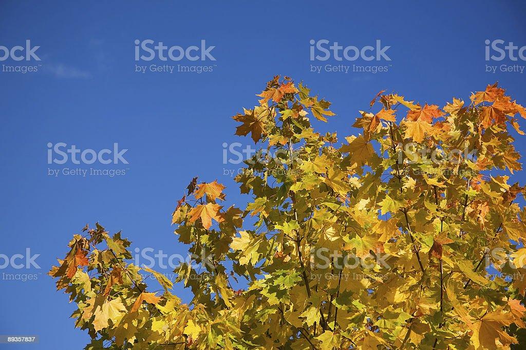 Jesienny klon zbiór zdjęć royalty-free