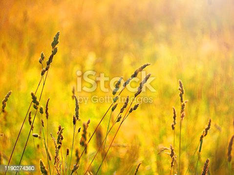 519188550 istock photo Autumnal meadow in warm colors, dactylis glomerata. Sunny image of nature 1190274360