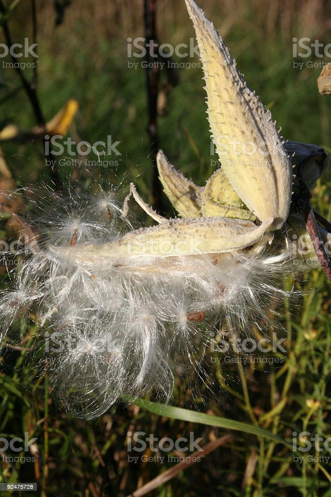 Herbstlichen Seidenpflanze Lizenzfreies stock-foto