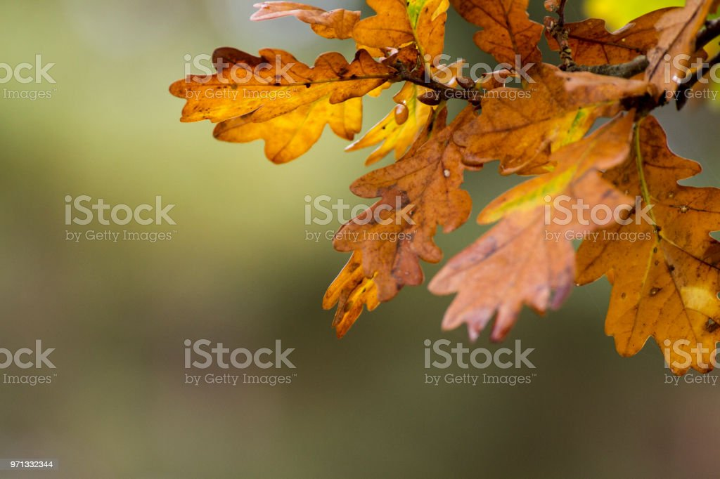 Autumnal oak leaves against a bokeh background stock photo
