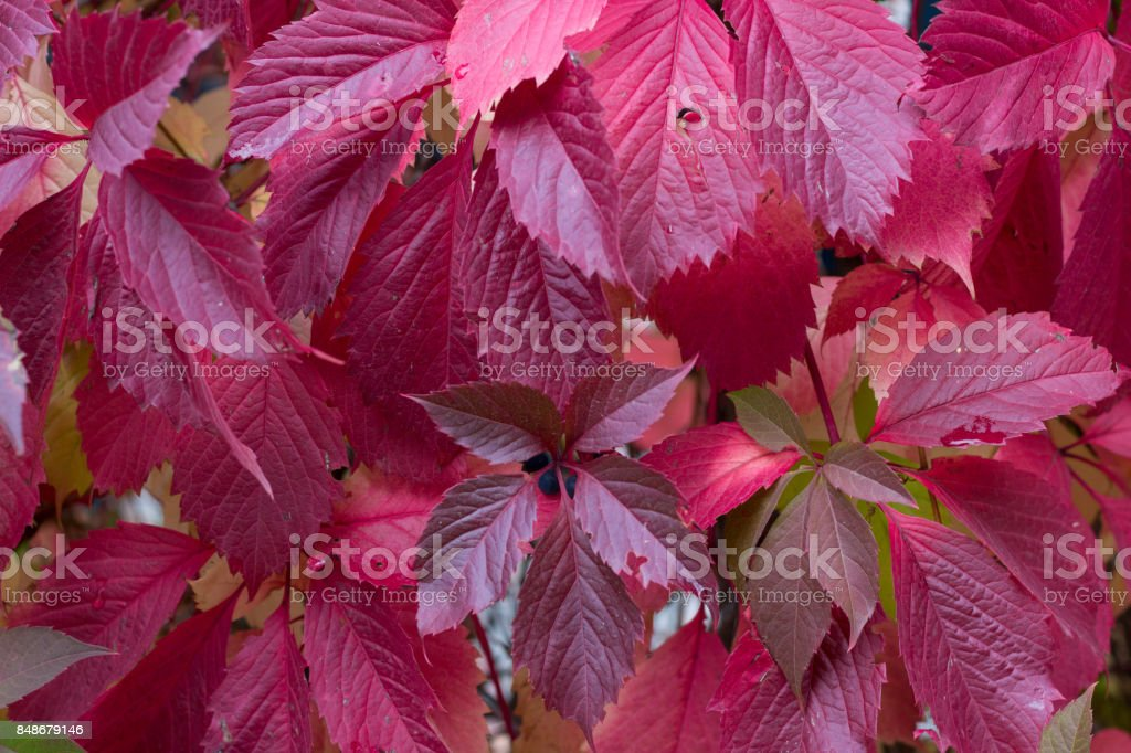 Autumnal purple, red leaves and berries of trees stock photo