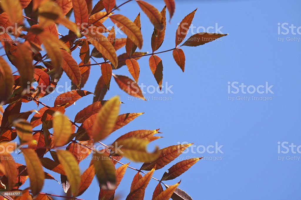 Autumnal  red leaves against a clear blue sky royalty-free stock photo