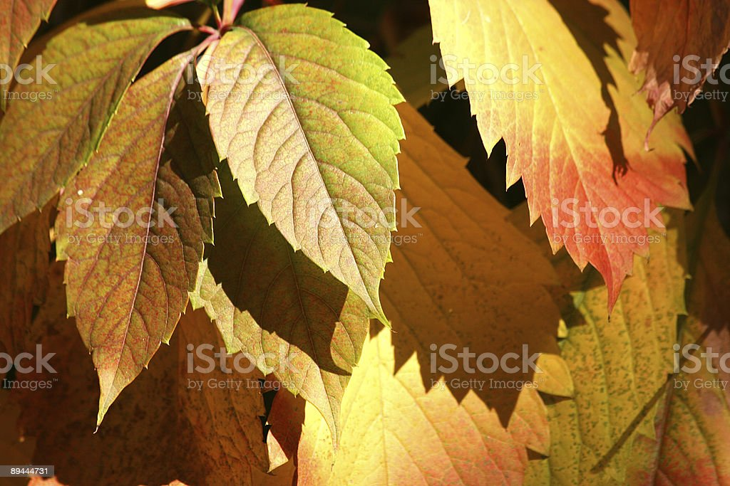 Autumnal  red leaves background royalty-free stock photo
