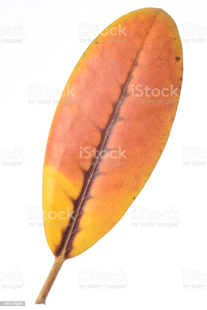 Autumnal rhododendron single leaf royalty-free stock photo