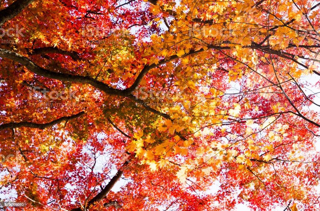Autumnal tints in Urabandai, Fukushima, Japan - Autumnal tints of red stock photo