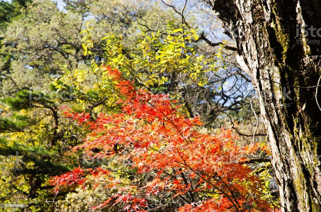 Autumnal tints in Urabandai, Fukushima, Japan - Red and Green leaves stock photo