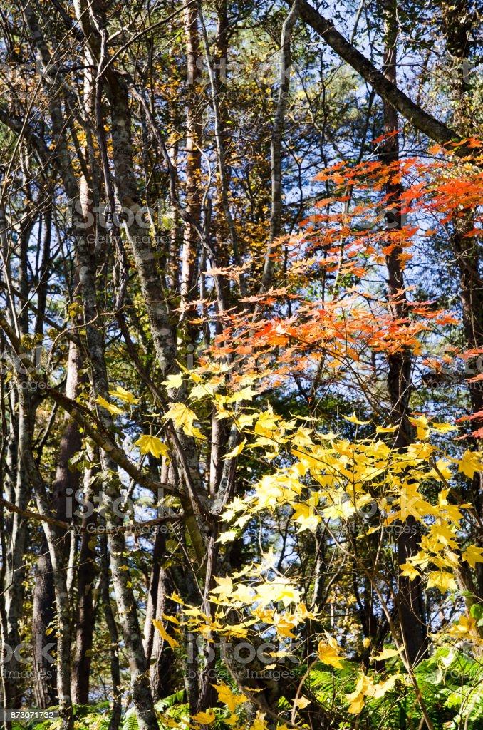 Autumnal tints in Urabandai, Fukushima, Japan - Red and Yellow leaves stock photo