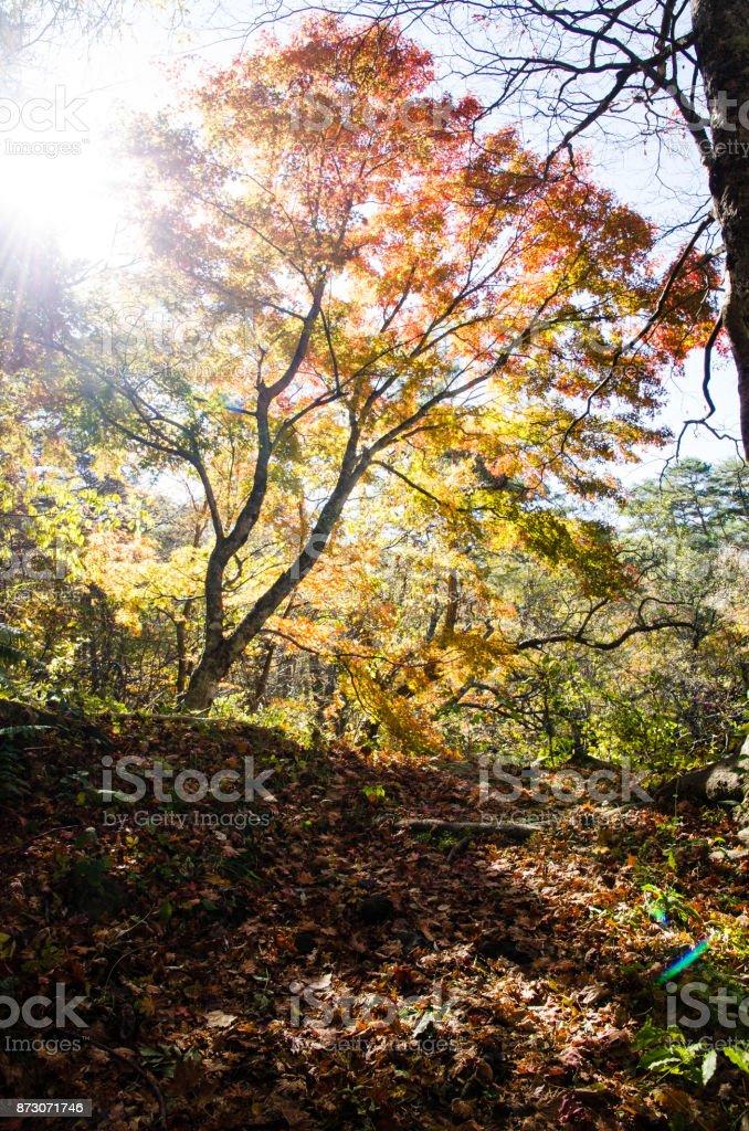 Autumnal tints in Urabandai, Fukushima, Japan - Red and Yellow leaves with backlight stock photo