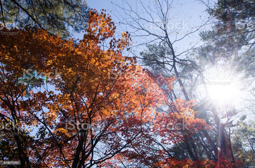 Autumnal tints in Urabandai, Fukushima, Japan - Red leaves with backlight stock photo