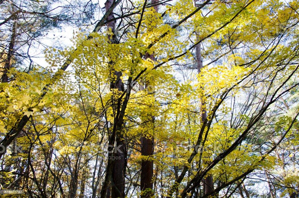 Autumnal tints in Urabandai, Fukushima, Japan - Yellow leaves stock photo
