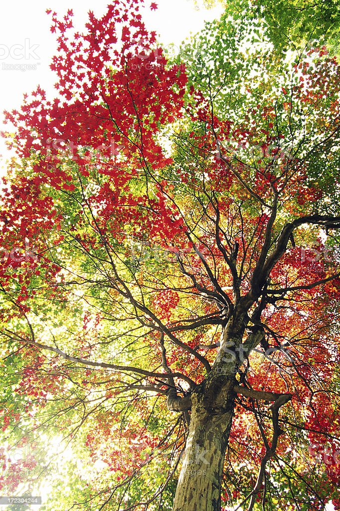 Autumnal tree royalty-free stock photo