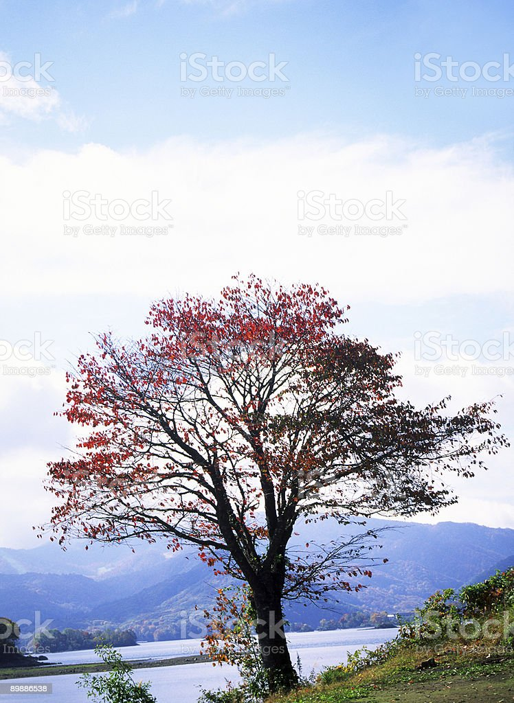 Autumnal tree royalty free stockfoto