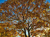 Autumnal treetop in the back light, blue sky