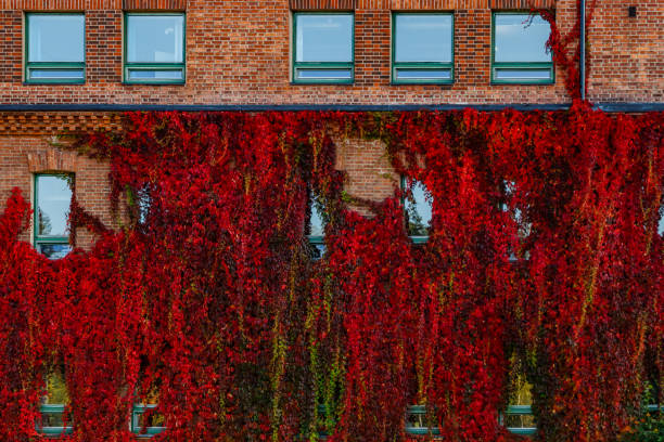 Autumnal view of red brick building covered by red foliage of parthenocissus. Autumnal view of red brick building covered by red foliage of parthenocissus. parthenocissus stock pictures, royalty-free photos & images
