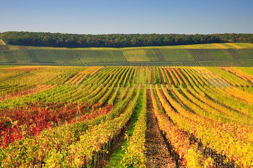 Autumnal Wineyards, EOS 5D