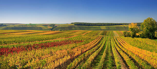 Autumnal Wineyards stock photo