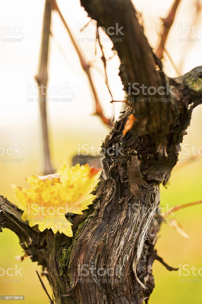 Autumnal Wineyards royalty-free stock photo