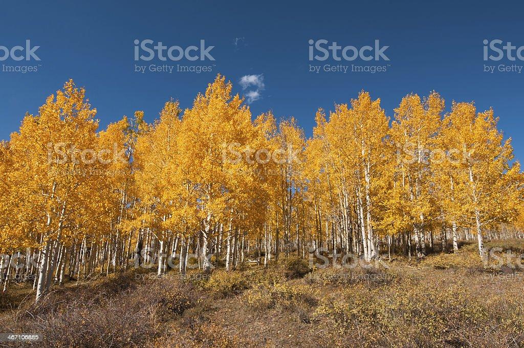 Autumnally Aspen Trees stock photo