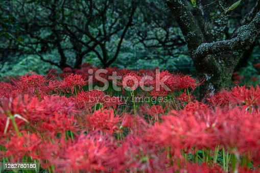 Autumn-blooming red spider lilies in Atsugi, Japan