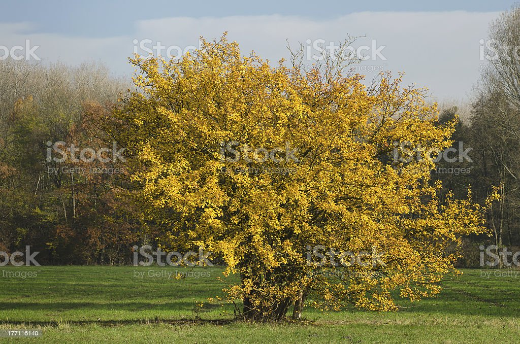 autumn-colored bush on a lawn stock photo