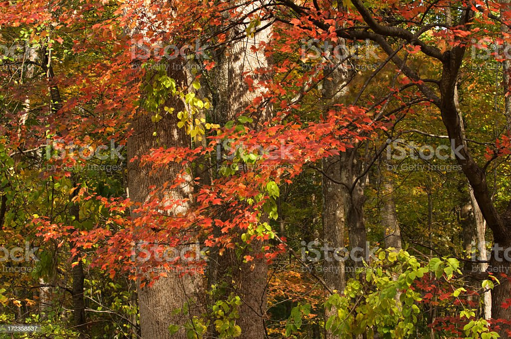 Autumns Blaze of Color royalty-free stock photo