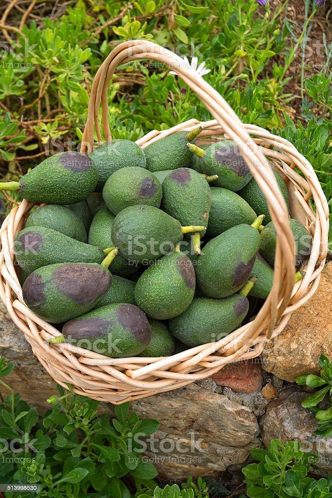 Avacados In Wicker Basket Macro stock photo