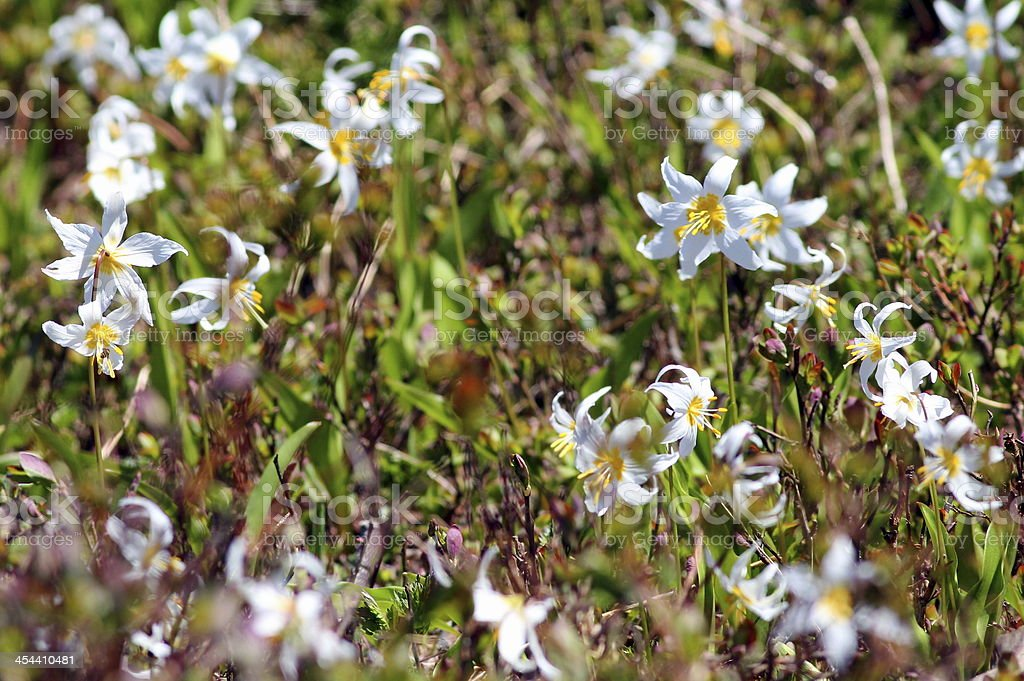 Avalanche Lilies on Mount Rainier royalty-free stock photo
