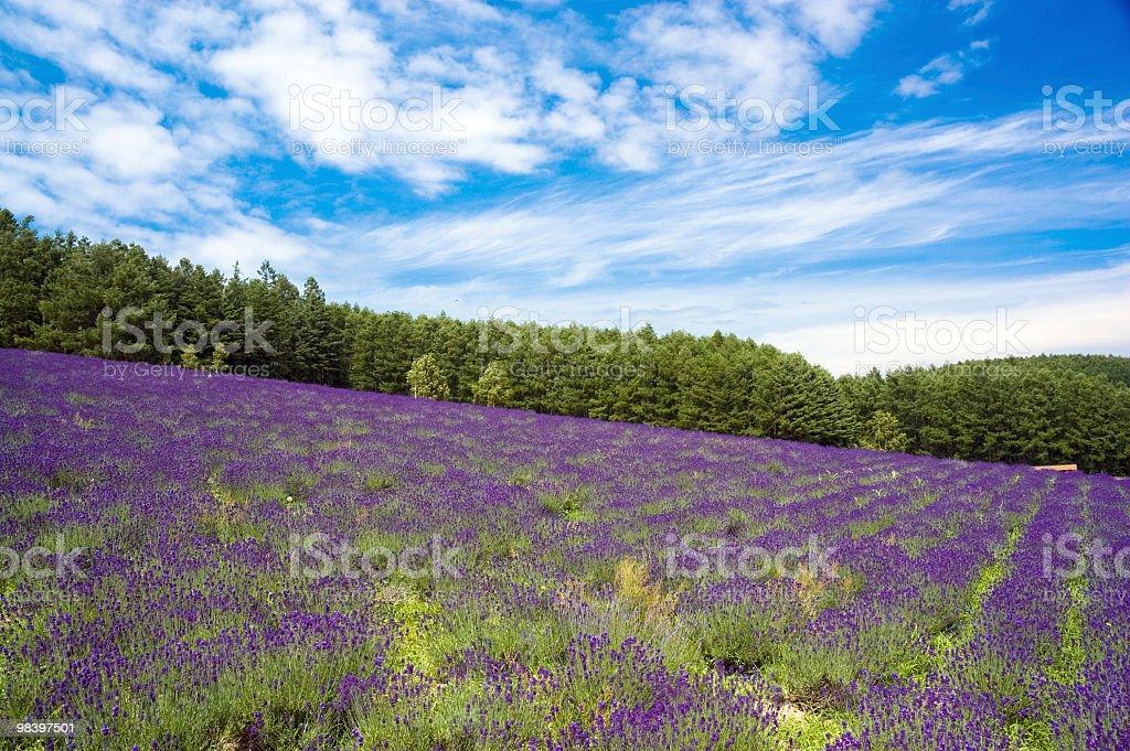 avender field in Furano, Hokkaido, Japan royalty-free stock photo
