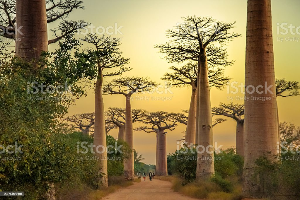 Avenida de Baobab at sunset stock photo