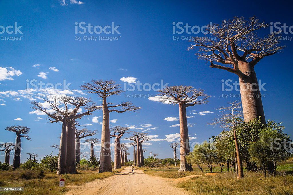 Avenida de Baobab stock photo
